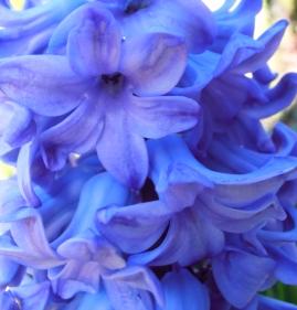 Hyacinth1