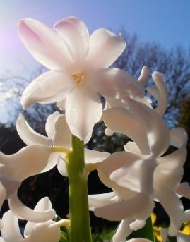 Hyacinth2