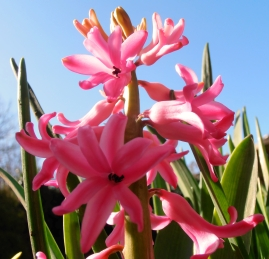 Hyacinth3