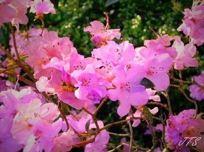 Pinkblossomsbright