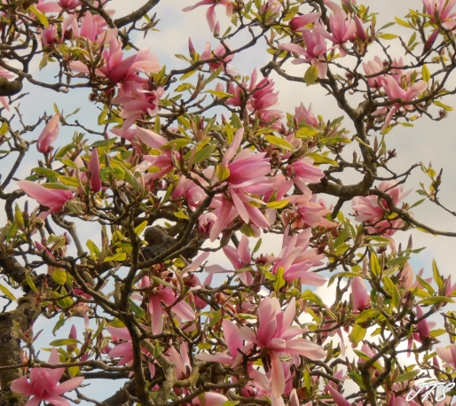 Magnoliapink