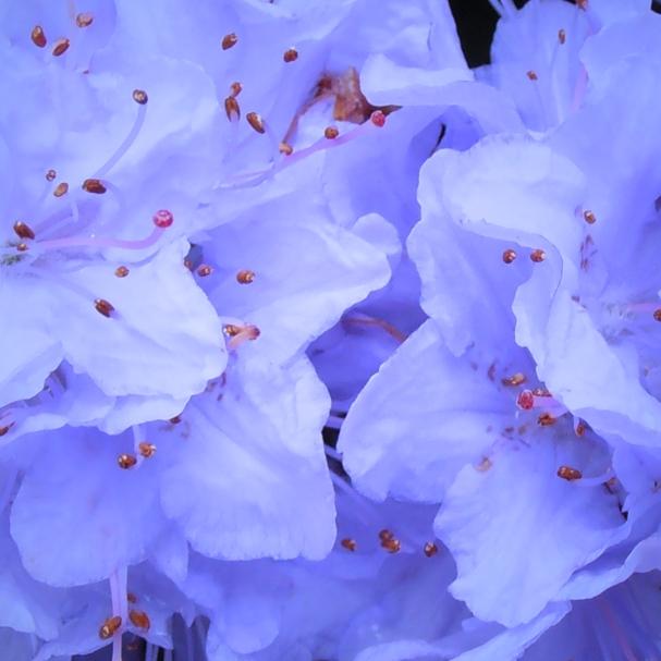 Purplepompoms