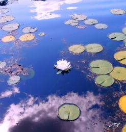waterlily1