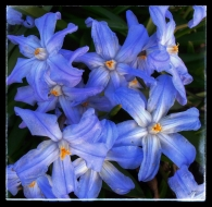 blueflowers1