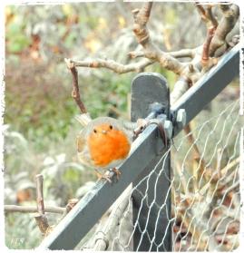 brantwood robin