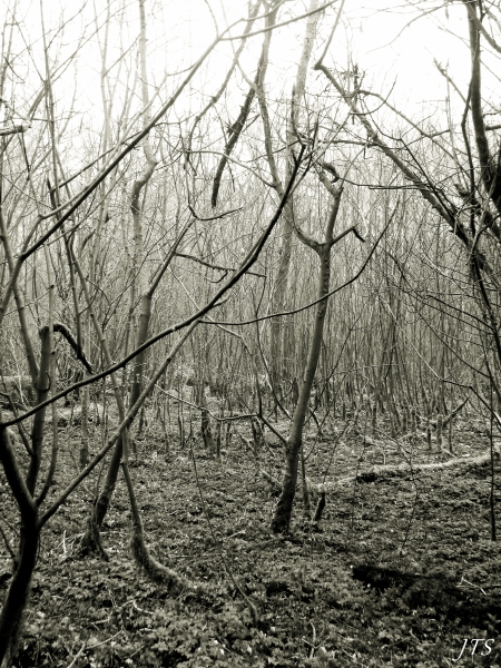 Trees at Sea Wood