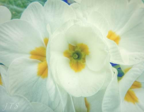 primroses2